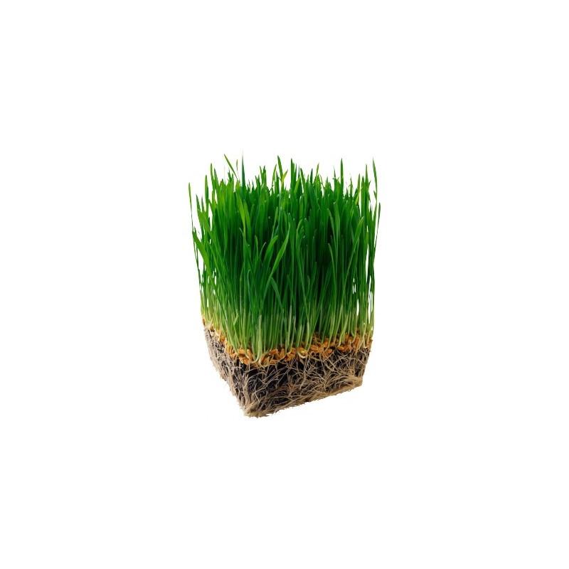 Травка пророщенная - Овес